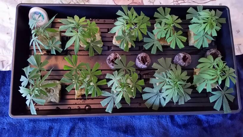 Original Afghani #1 Mother Plant and Clones | Grasscity