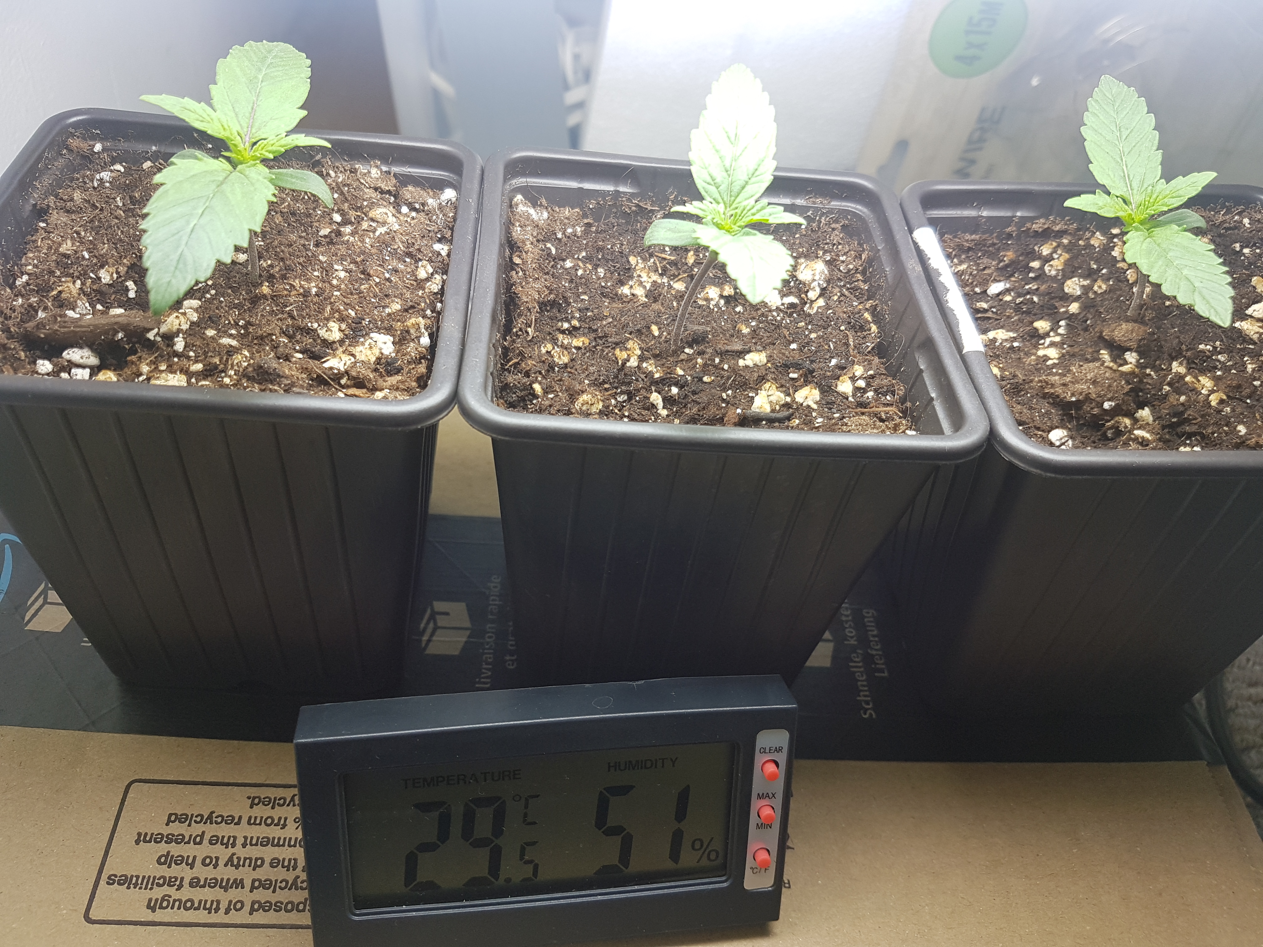 3 x Northern Lights (Auto) CFL & LED Indoor Grow   Grasscity Forums