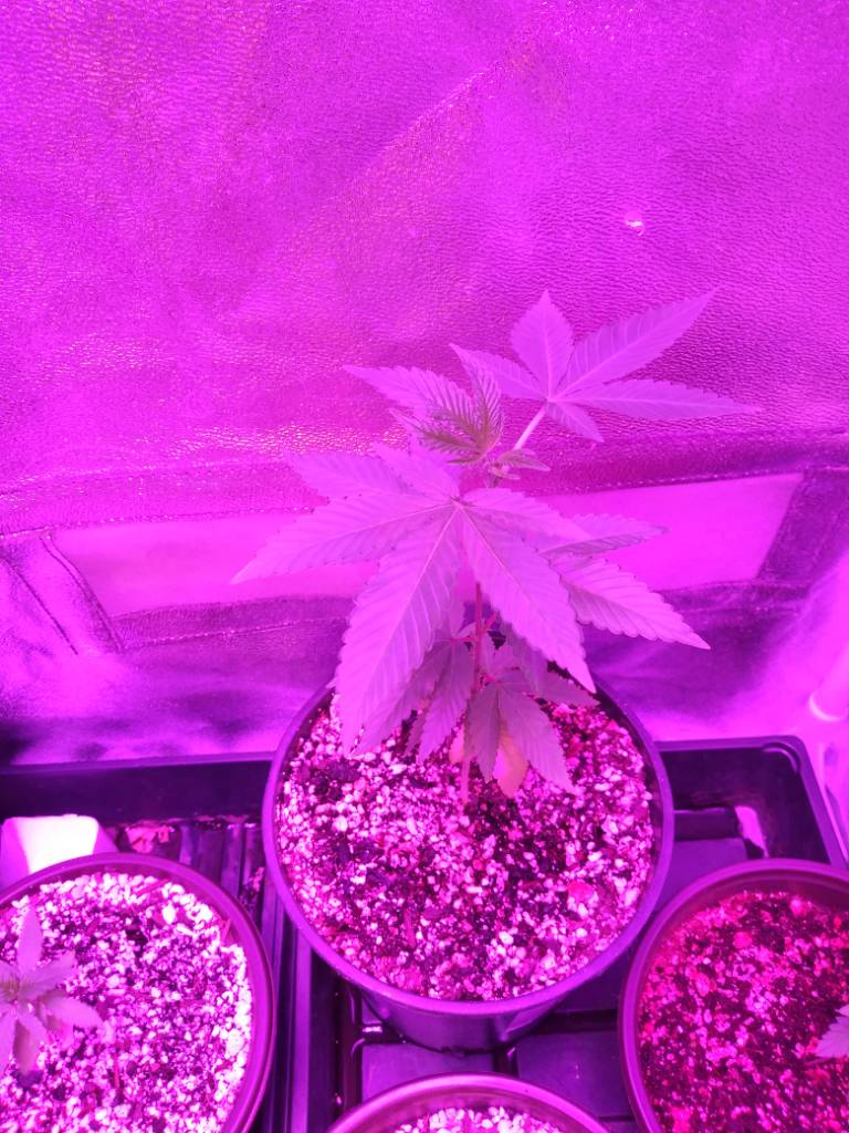 T H Seeds French Macaron Grow Grasscity Forums The 1
