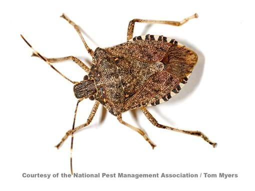 brown-marmorated-stink-bug-_l0o9225.jpg