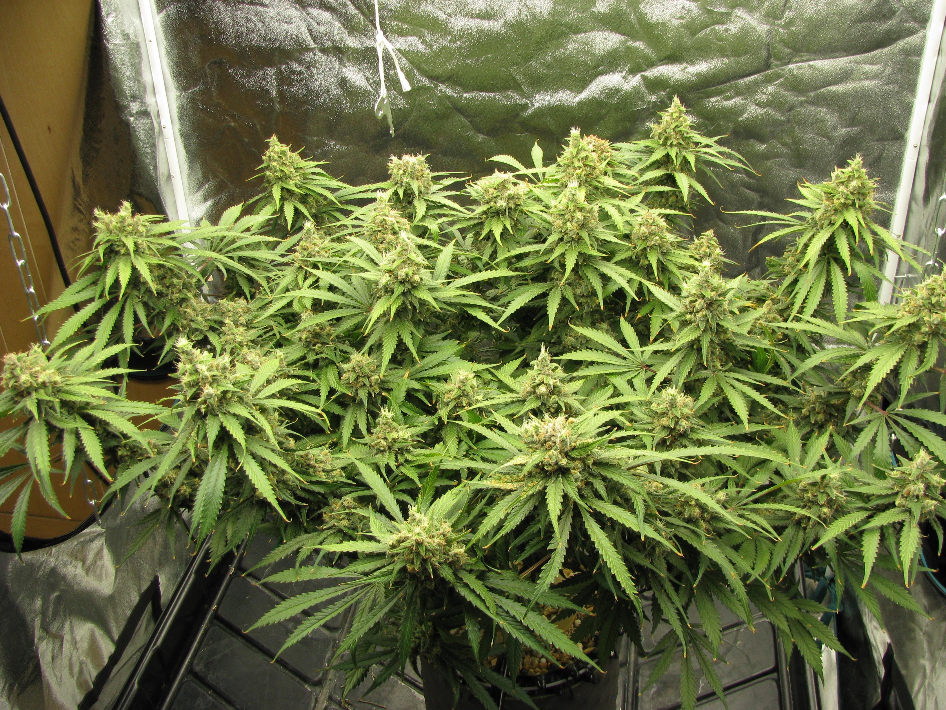 C99 Flower 9 weeks.JPG