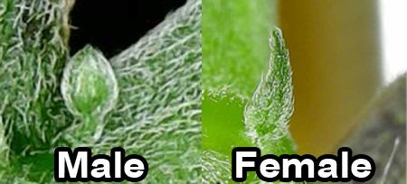 cannabis-preflower-comparison.jpg