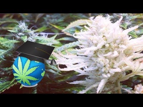 cannabis white.jpg