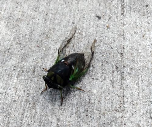 Dead Bug July 24 2017 near Ave. Y or X.jpg
