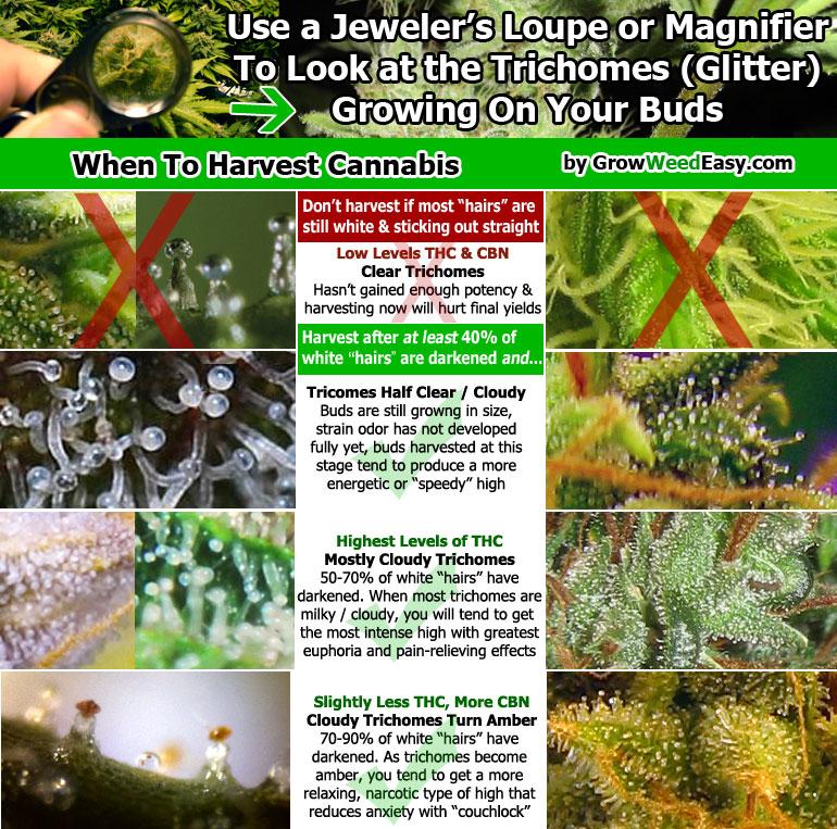 harvest-cannabis-diagram.jpg