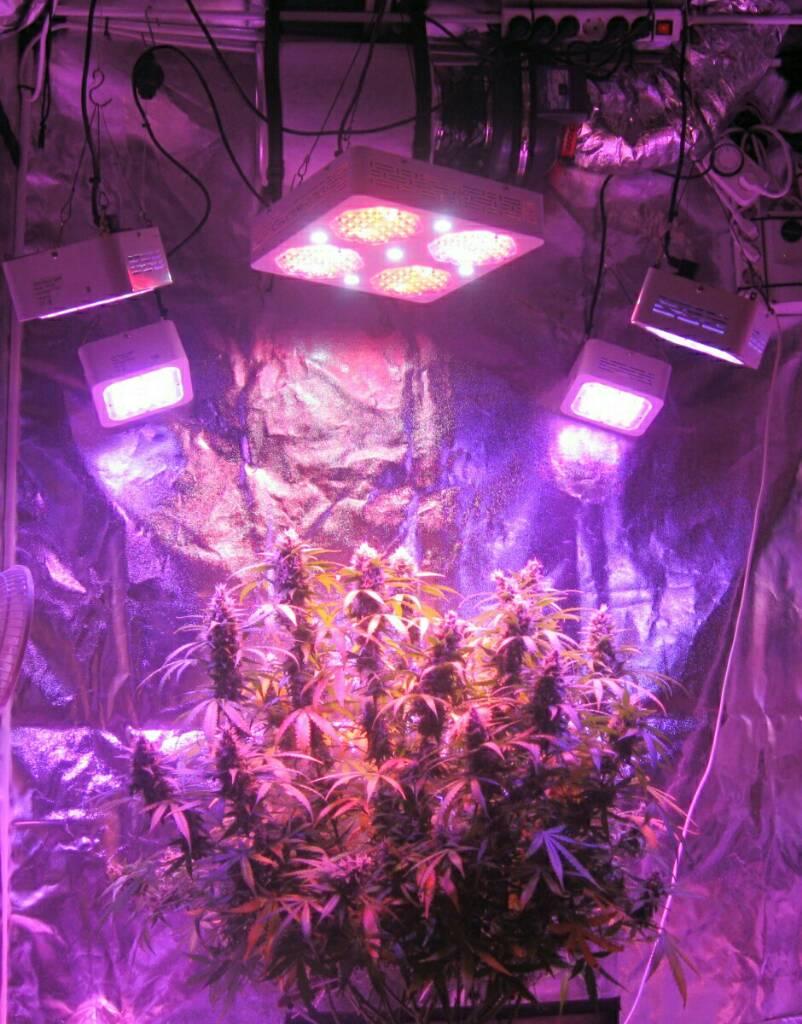 Real Skunk? | Grasscity Forums - The #1 Marijuana Community Online