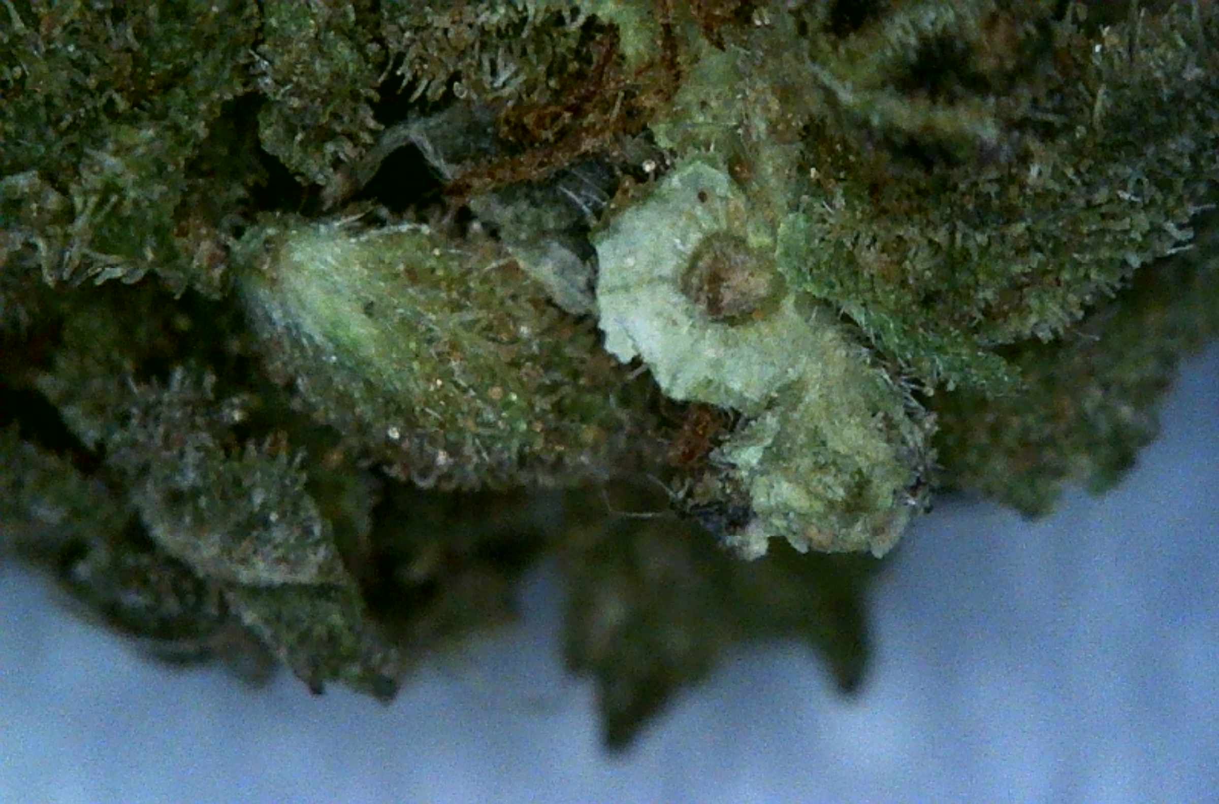 Is This Mold? | Grasscity Forums - The #1 Marijuana ...
