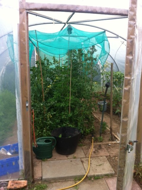 Sativa strain growing too big in polytunnel / greenhouse