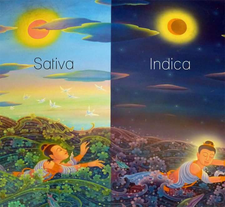 Sativa vs Indica explained in one image only.jpg