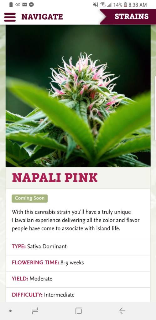 Nepali Pink   Grasscity Forums - The #1 Marijuana Community