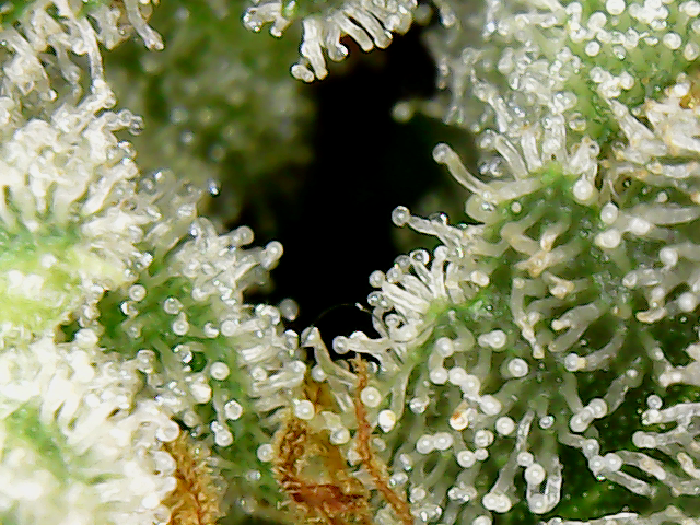 Are These Trichomes Ready Grasscity Forums The 1