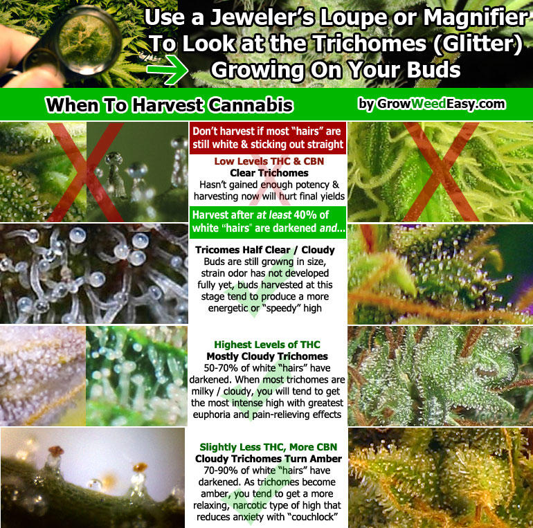 when-to-harvest-cannabis-diagram (1).jpg