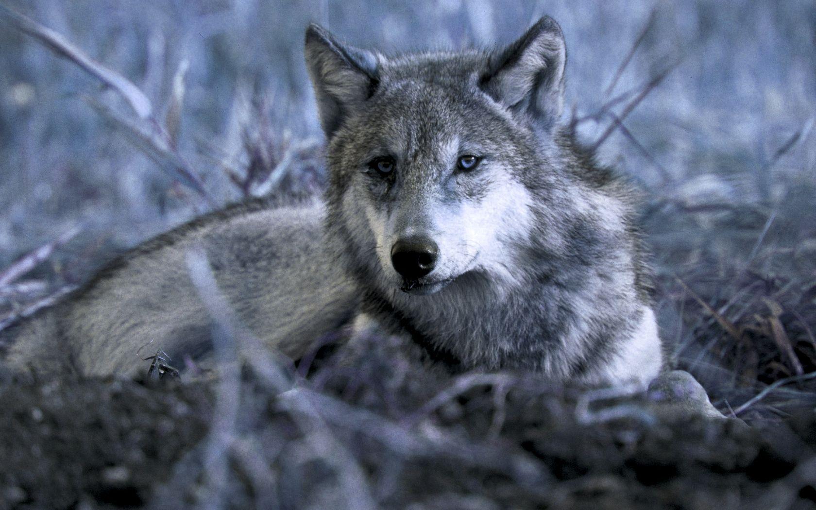 Wolf-Wallpapers-Desktop-Gallery-87-Plus-PIC-WPW5011591.jpg