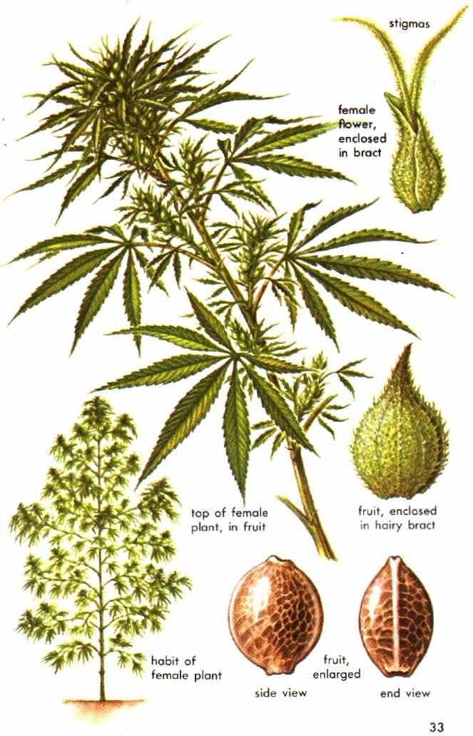 cannabis the physiological affects