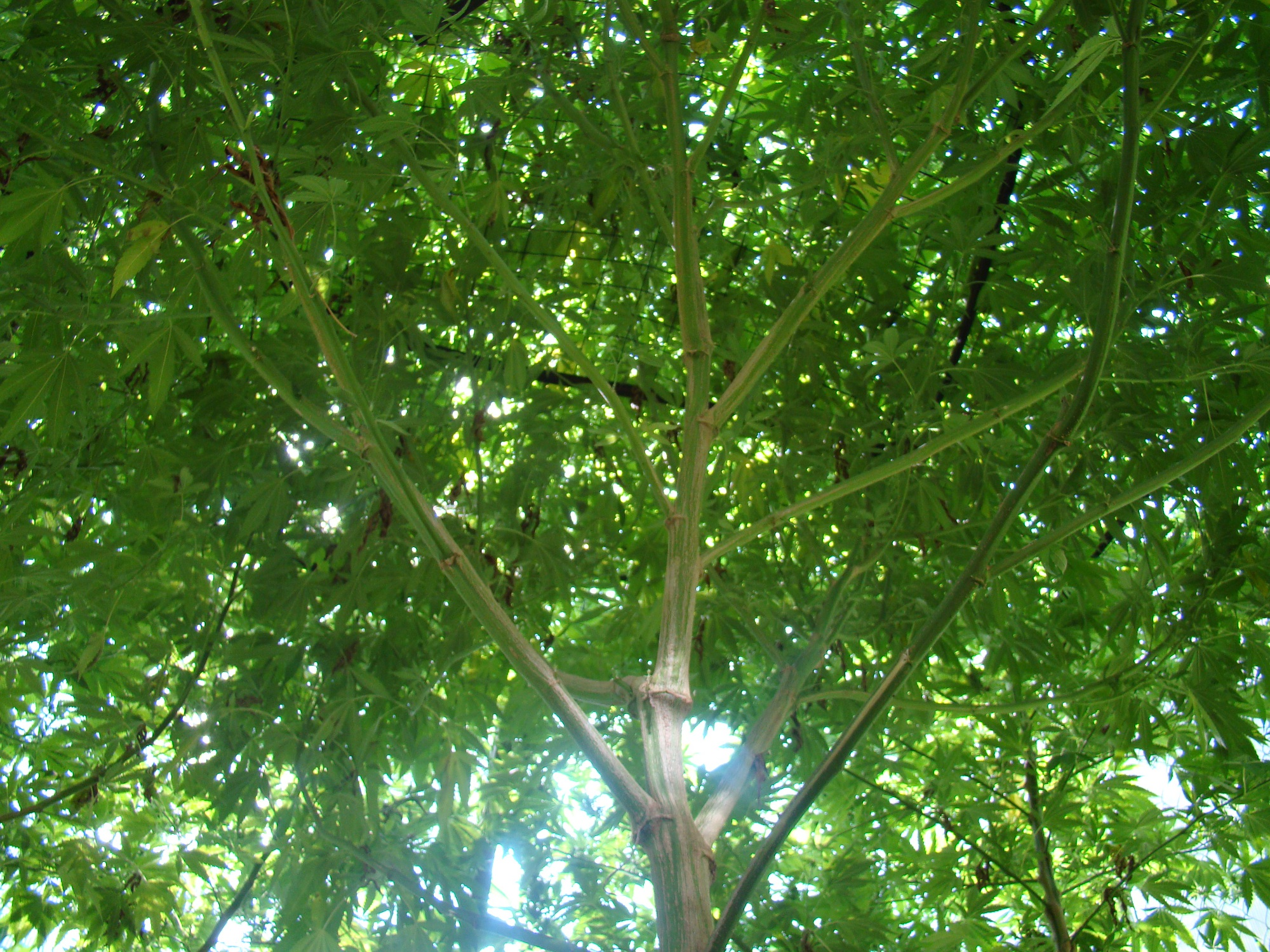 how to grow og kush outdoors